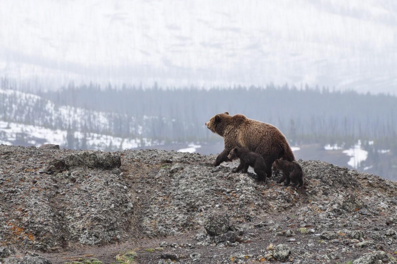 Expressão Idiomática - Mama bear